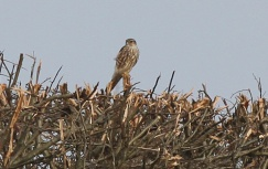 Merlin, Gooderstone Warren, 4th March