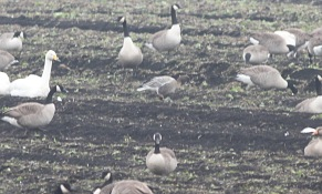 Pink-footed Goose, Wissington, 7th January