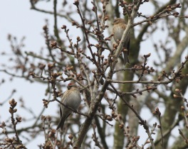 Redpoll, Cockley Cley 17th April