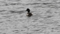 Scaup, Hilbrough 1st January