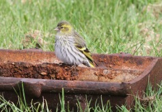 Siskin, Cockley Cley 22nd April