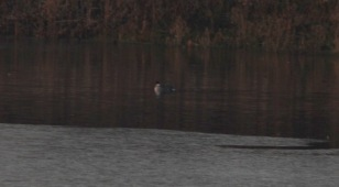 Smew, Nar Valley Fisheries 22nd January