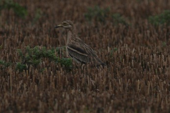Stone Curlew, Cockley Cley, 1st January