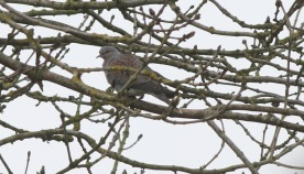 Turtle Dove, Hilbrough Estate, 27th April