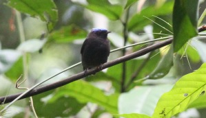 Blue-crowned Manakin