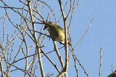 Golden-collared Honeycreeper female