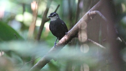 Lunulated Antbird
