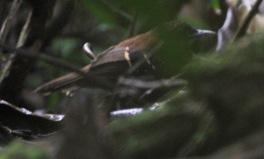 Plataforma Antbird