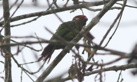 Rose-fronted Parakeet