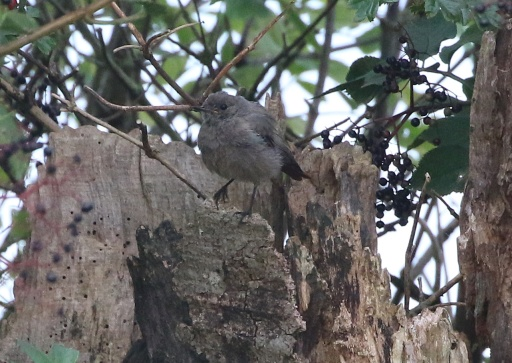 Black Redstart, near Cockley Cley 19th August