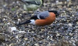 Bullfinch. Mundford Wood, 1st July