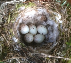 Greenfinch nest