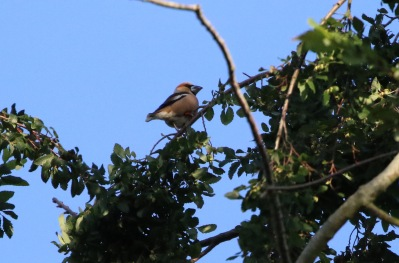 Hawfinch, Lynford Arboretum 16th July