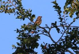 Hawfinch, Lynford Arboretum 16th July