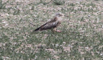 Red Kite, Gooderstone Warren, 13th May