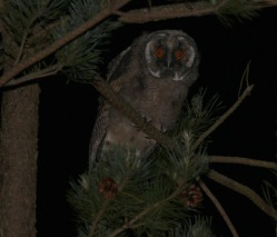 Long-eared Owl, immature 27th May
