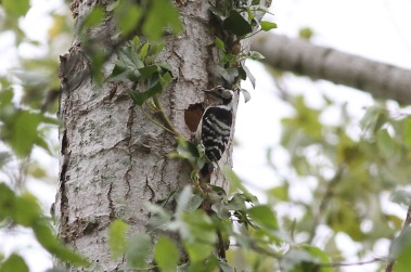 Lesser-spotted Woodpecker, female 15th May