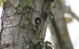 Lesser-spotted Woodpecker, female 13th May