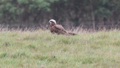 Marsh Harrier, Gooderstone Warren 6th May