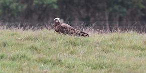 Marsh Harrier, Gooderstone Warren 6th May