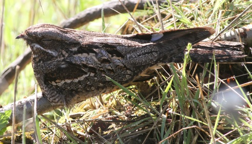Nightjar. Cockley Cley 21st May