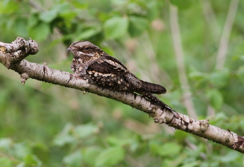 Nightjar Drymere 21st May