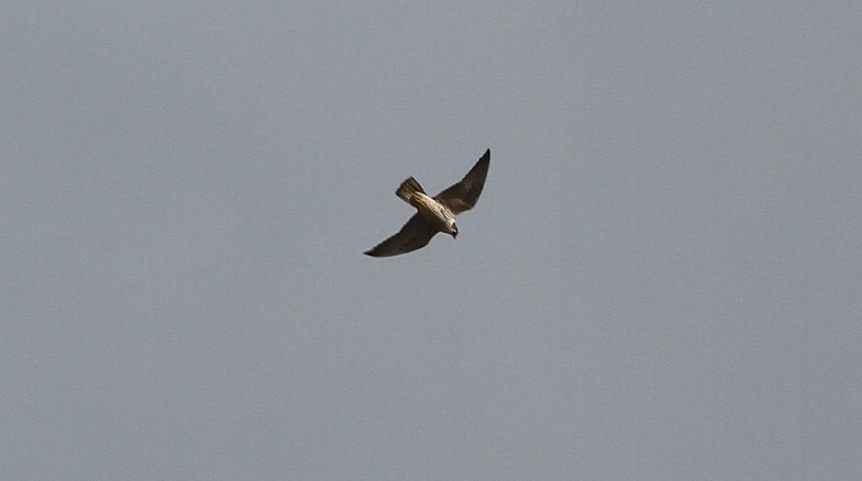 Peregrine, Hilbrough Estate 1st May