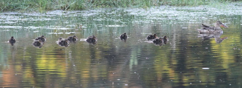 Shoveler with a brood of 12 ducklings near Cockley Cley, 27th May