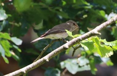 Spotted Flycatcher 2nd July Lynford