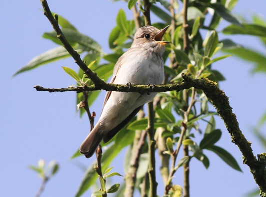 Spotted Flycatcher, Cockley Cley 21st May