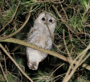 Tawny Owl, Cockley Cley 1st July