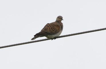 Turtle Dove, Marham 29th June
