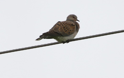Turtle Dove, Marham 29th June