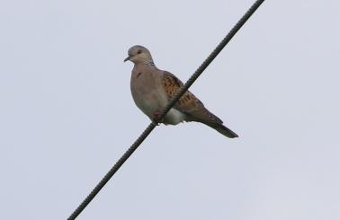 Turtle Dove, Marham 15th July