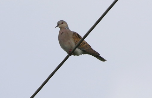 Turtle Dove, Marham 15th July