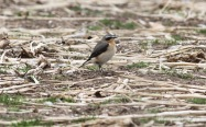 Wheatear, Gooderstone Warren 6th May
