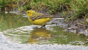 Yellow Wagtail, Beachamwell 12th May