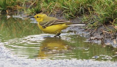 Yellow Wagtail, Beachamwell 12th May