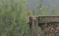 Yellow Wagtail, Larksheath Mere, 6th May