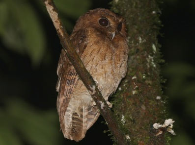 Colombian Screech Owl