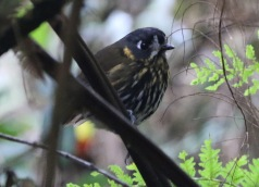 Crescent -faced Antpitta