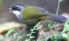 Grey-browed Brush Finch