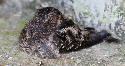 female Lyre-tailed Nightjar