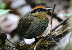 Rufous-crowned Antpitta