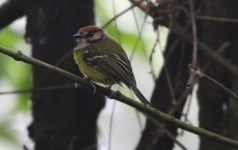 Rufous-headed Tody Tyrant