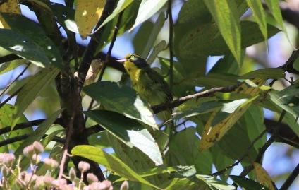Slaty-capped Shrike Vireo