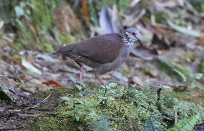 White-throated Quail Dove