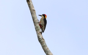 Beautiful Woodpecker