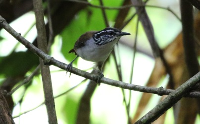 White-bellied Wood Wren