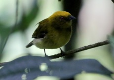 Yellow-headed Manakin